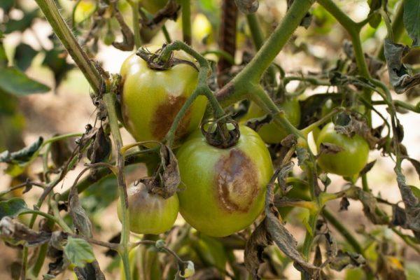 Фитофтороз на кусте помидоры – пораженные плоды и листья