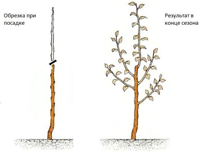 Схема обрезки карликовой разновидности груши в первый год после посадки