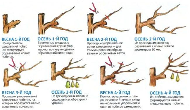Схема обрезки веток груши с весны первого года до осени четвертого года жизни