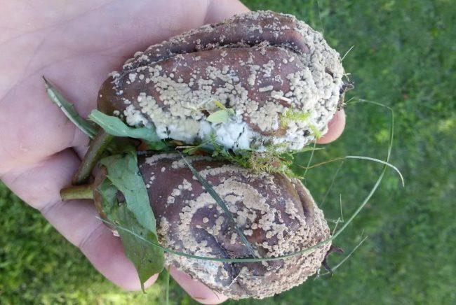 Гнилые груши в руке садовода-любителя