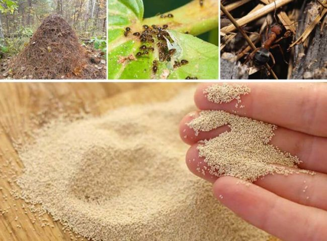 Использование горчичного порошка для борьбы с муравьями на помидоре в теплице