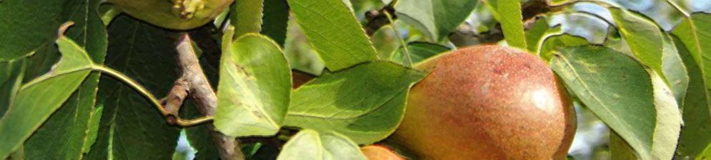 Спелые плоды груши в Подмосковье на дереве