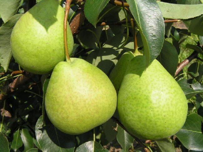 Зеленые груши сорта Августовская Роса в период съемной спелости