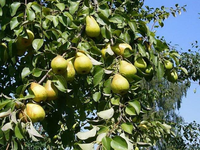 Зеленоватые груши сорта Чижевская на ветках десятилетнего дерева