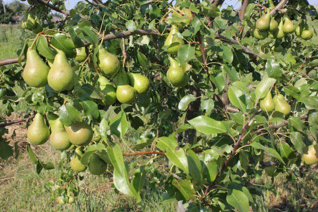 Ветки груш сорта Фестивальная с плодами зеленовато-желтого оттенка