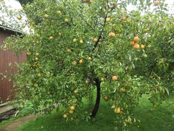 Взрослое дерево груши сорта Фестивальная с плодами крупного размера