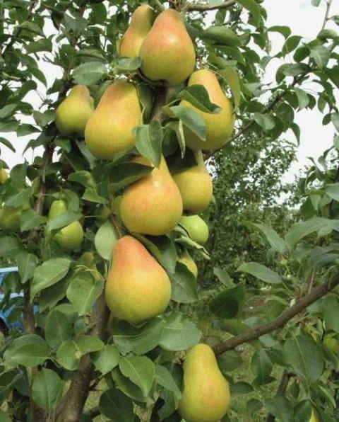 Спелые плоды груши сорта Фестивальная с небольшим румянцем