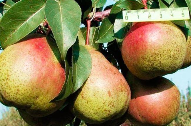 Размеры плодов груши сорта Гера для выращивания в условиях Подмосковья