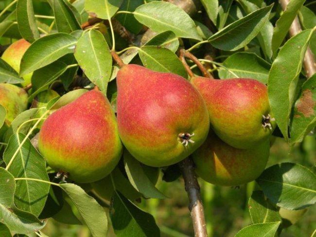 Фото спелых плодов груши сорта Краснобокая с ярким румянцем на кожице