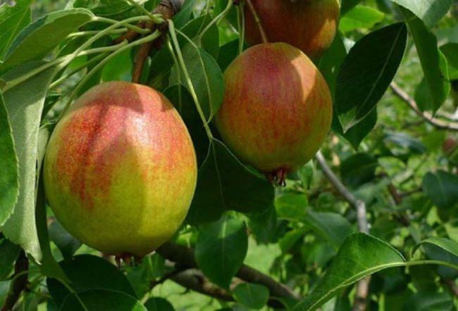 Розово-желтые груши сорта Красуля Челябинской селекции