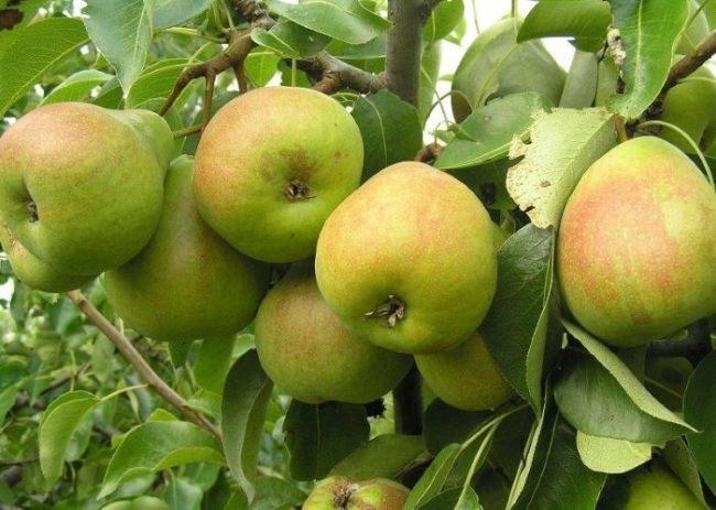 Ветки грушевого дерева с плода сорта Лада зеленоватой окраски