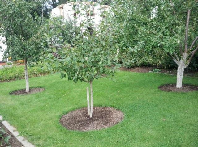 Молодые деревья груши в плодовом саду загородного участка