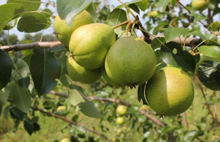 говорит, что сорта груш для ростовской области фото рассказывает