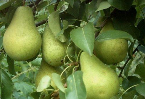 Внешний вид плодов груши зимостойкого сорта Первомайский