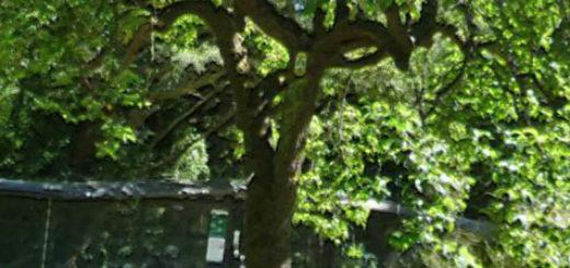 Большое и рослое дерево груши в Ростовской области на дачном участке