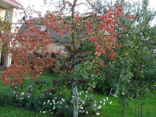 Деревце груши с покрасневшими летом листьями