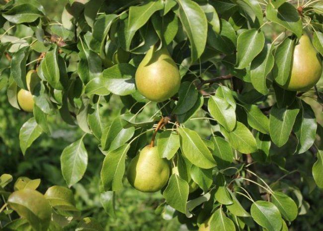 Ветки грушевого дерева с плодами гибридного сорта Сокровище