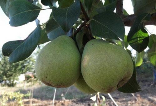 Зеленоватые плоды груши сорта Сокровище в период сбора урожая