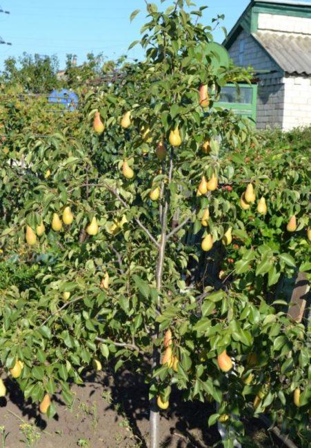 Молодое дерево груши сорта Талгарская Красавица с плодами вытянутой формы