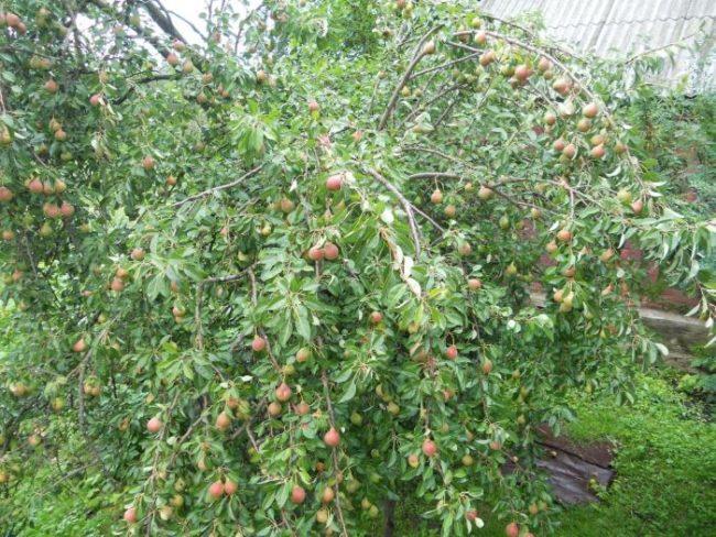 Ветки груши, склонившиеся под весом спелых плодов