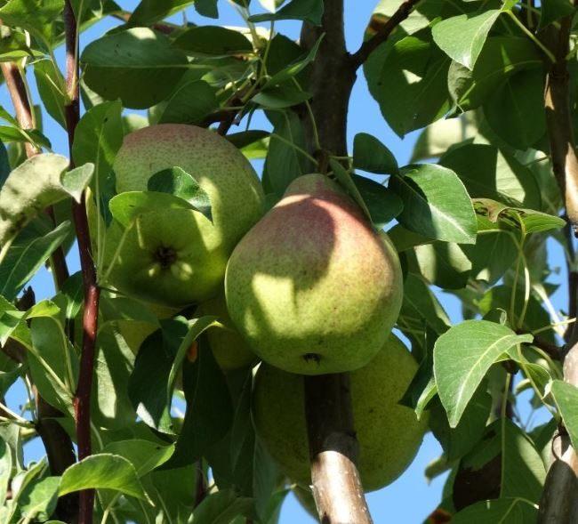 Две груши сорта Любимица Каппа на ветке дерева в период съемной спелости