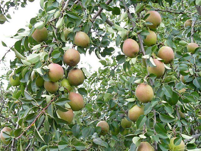 Ветки дерева груши с плодами красно-зеленого окраса