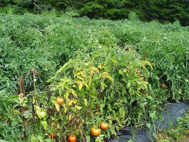 Кусты томатов в период плодоношения с признаками инфекционного заболевания