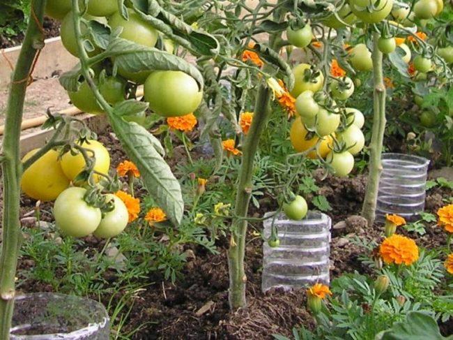 Полив кустов томатов с зелеными плодами через пластиковые бутылки