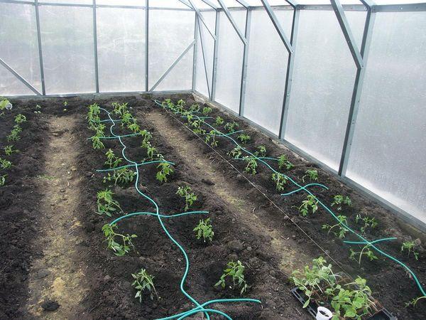 Трубки капельного полива на грядках помидоры в теплице