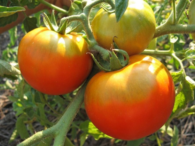 Три крупные помидоры с зеленовато-желтой плодоножкой