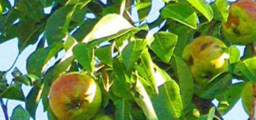 Спелые плоды на груше сорта Любимица Клаппа