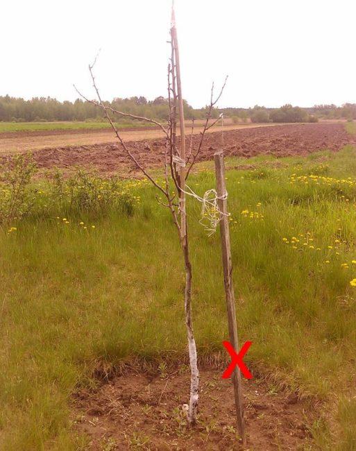 Распространенные ошибки при посадки груши