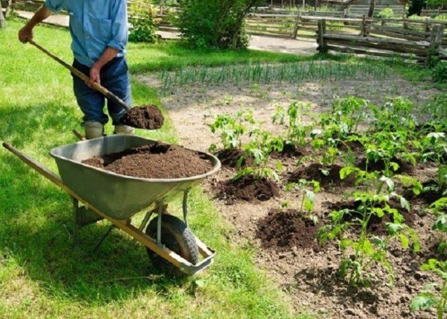 Внесение перепревшего компоста под кусты томатов