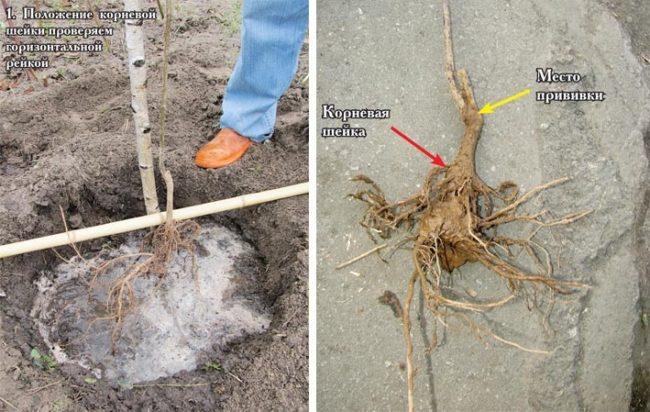 Месторасположение корневой шейки на саженце груши и места привики