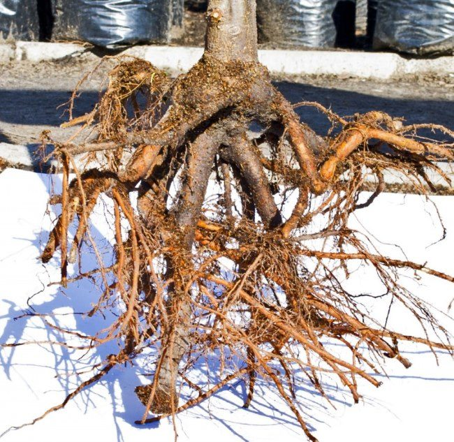 Обрезанные корни саженца грушевого деревца
