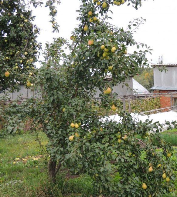 Взрослое дерево груши сорта Крымская Медовая с плодами на ветках