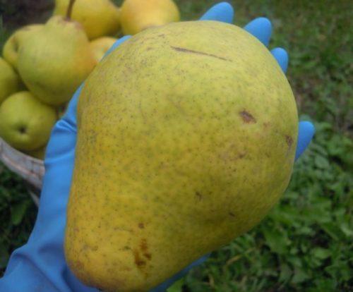Крупная груша сорта Крымская Медовая на ладони садовода