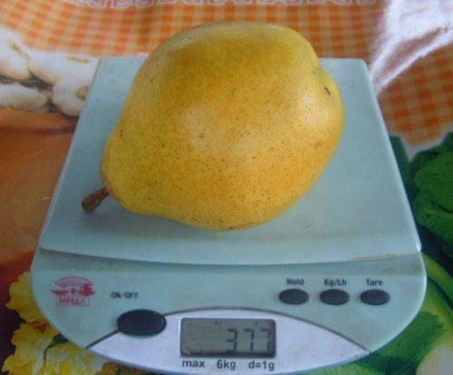 Большая груша гибридного сорта Крымская Медовая на электронных весах