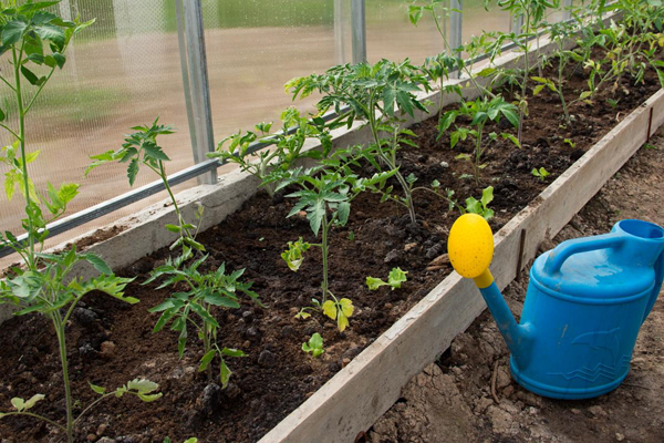 Садовая лейка для ручного полива помидоры в теплице