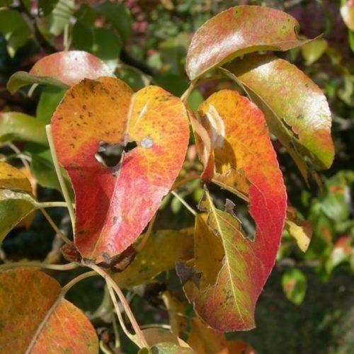 Покраснение и пожелтение листьев груши в летний период