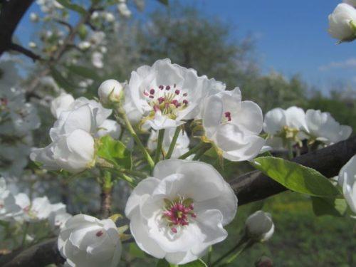 Фото цветков груши сорта Любимица Клаппа крупным планом