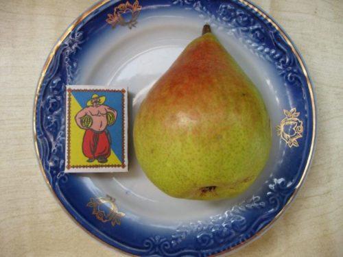Крупный плод груши сорта Любимица Клаппа и спичечный коробок