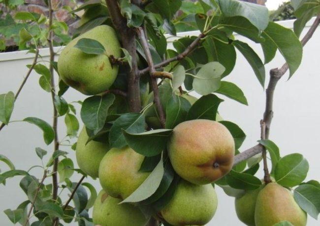 Обломанная ветка груши сорта Маргарита Марилья с крупными плодами
