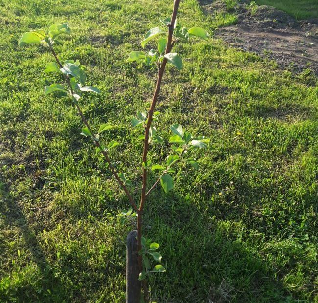 Молодое деревце груши с зелеными листочками