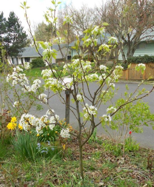Молодое дерево груши с цветками на ветках