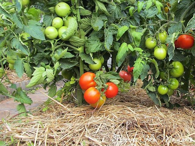 Мульчирование соломой кустов помидор с плодами
