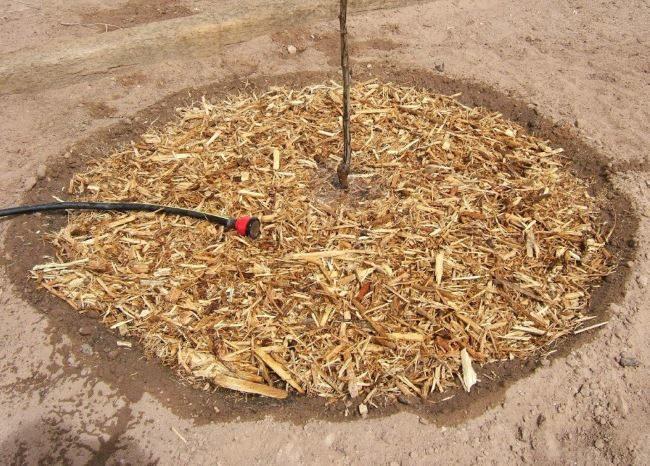 Мульчирование опилками и полив из шланга молодой груши