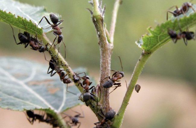 Черные муравьи на листьях и стеблях помидоры