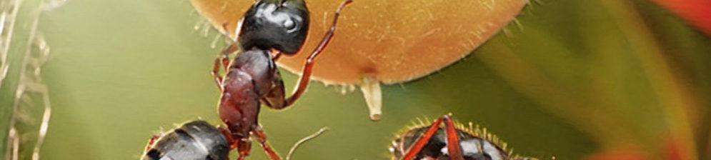 Муравьи в теплице на помидорах на плодах