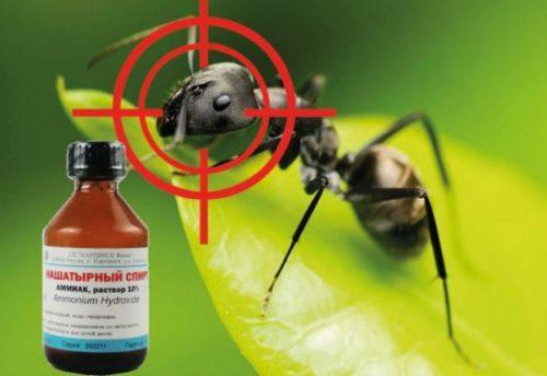 Раствор аммиака для борьбы с тепличными муравьями на томатах